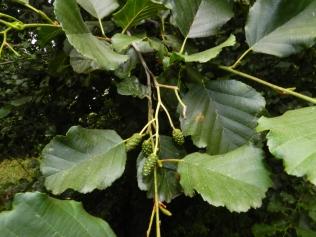 alnus-glutinusa
